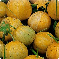 Цитрон огурец выращивание 63