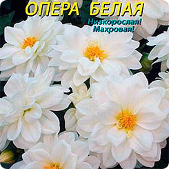 Георгина махровая Опера Белая, 11 шт.