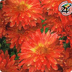 Хризантема индийская клеопатра выращивание из семян 100