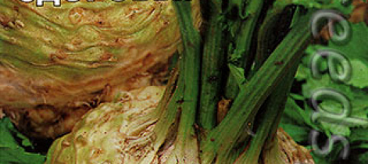 сельдерей кладезь здоровья фото основном выбор