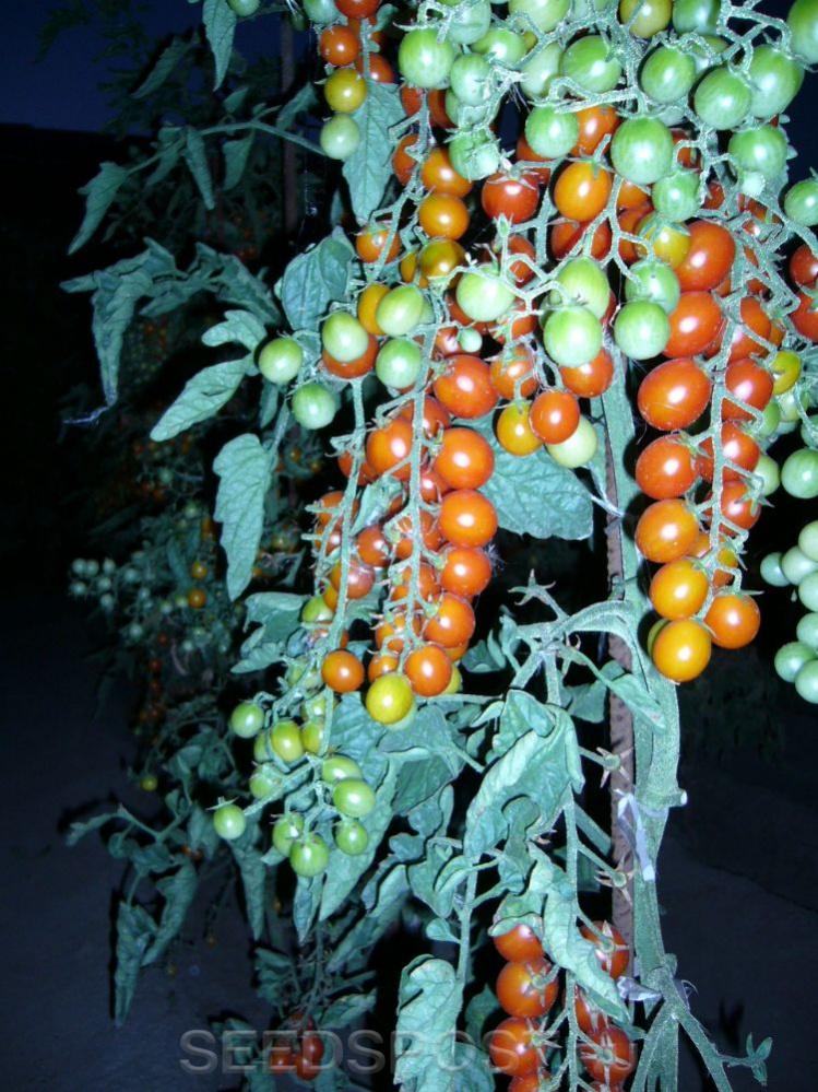 томаты спрут фото описание этой статье