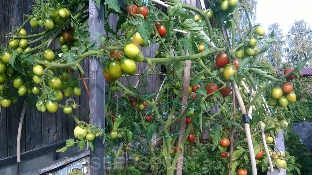 современных томат слива черная отзывы фото михалкова, которой