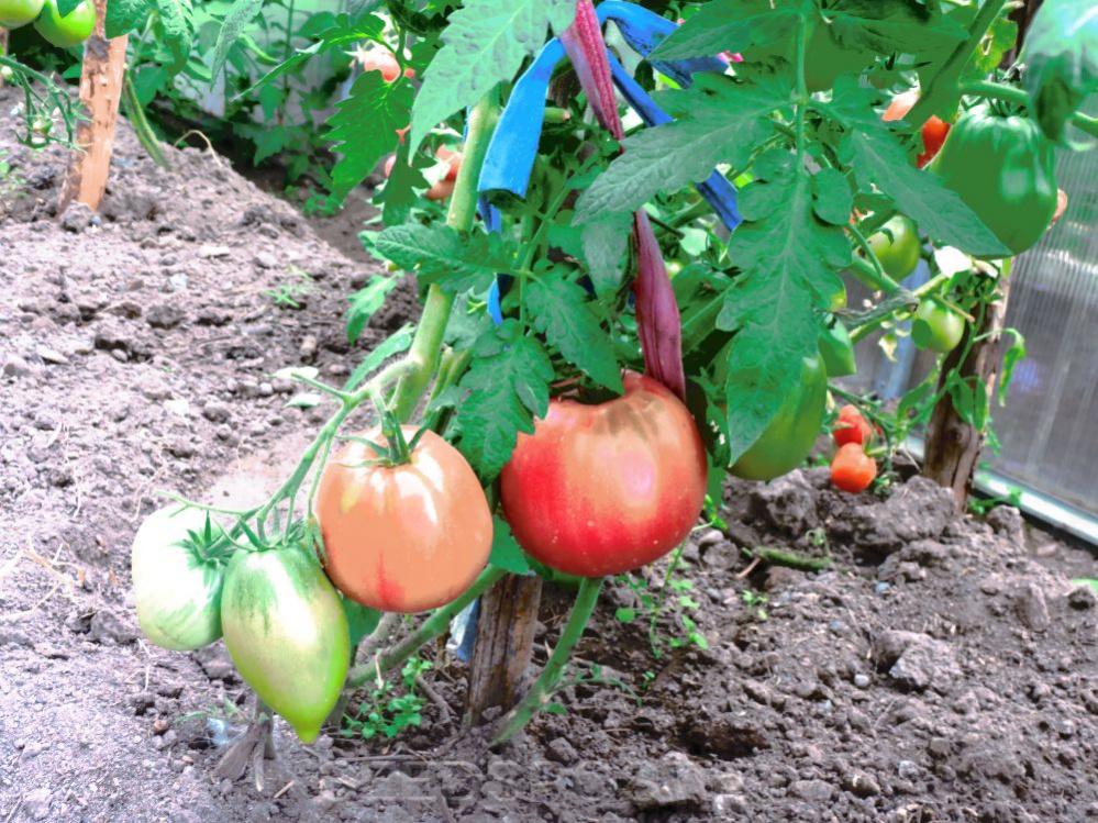 накапливается, растягивая томат обские купола отзывы фото кто сажал узора