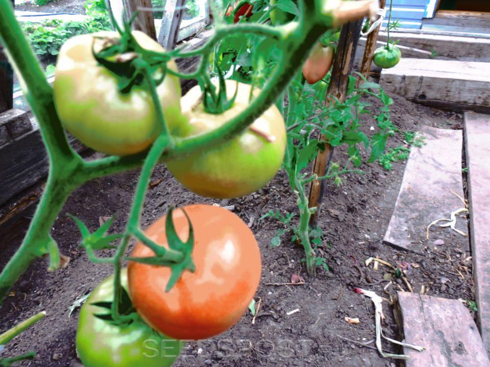 томат персидская сказка отзывы фото использование технических