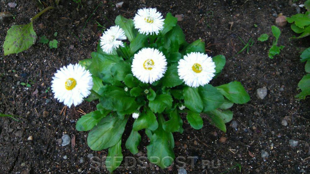 Маргаритка Суперэнорма Белый шар, 0,05 г, купить в интернет магазине  Seedspost.ru
